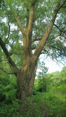 Pomnikowe drzewo nad Brdą
