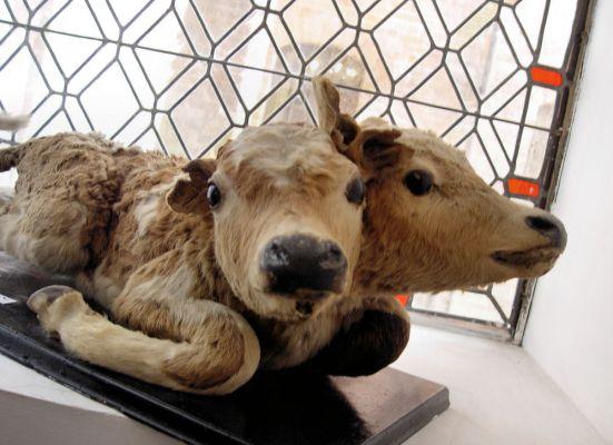 Darłowo muzeum dwugłowy cielak
