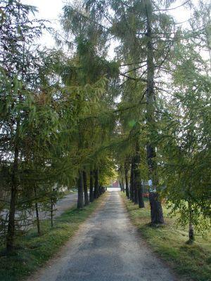 Aleja modrzewiowa prowadząca do cmentarza w Kłomnicac