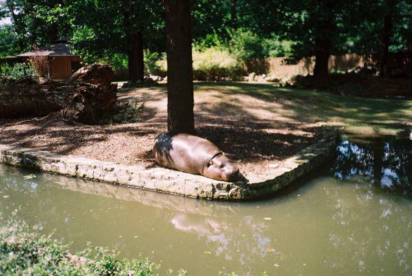Hipopotam karłowaty  w opolskim ZOO