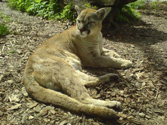 Puma - Zoo Opole