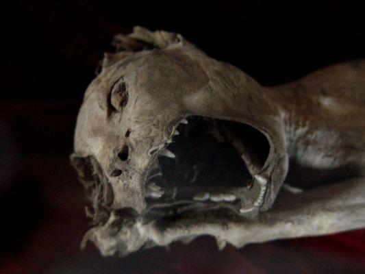Mumia kota, wystawa muzeum: Zamek Książąt Pomorskich, Darłowo