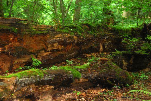 Rezerwat ochrony scisłej Białowieskiego Parku Narodowego