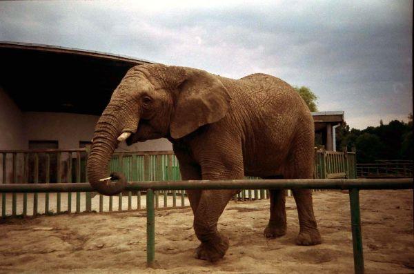 Słoń w Śląskim Ogrodzie Zoologicznym