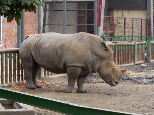 Nosorożec w ZOO w WPKiW w Chorzowie