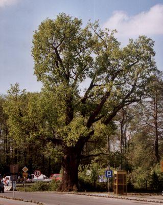 Pomnikowy dąb w centrum miejscowości Boronów
