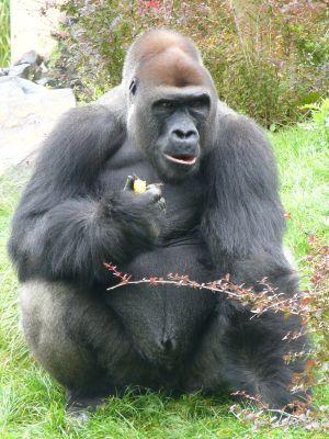 Goryl nizinny (Gorilla gorilla gorilla) w opolskim zoo