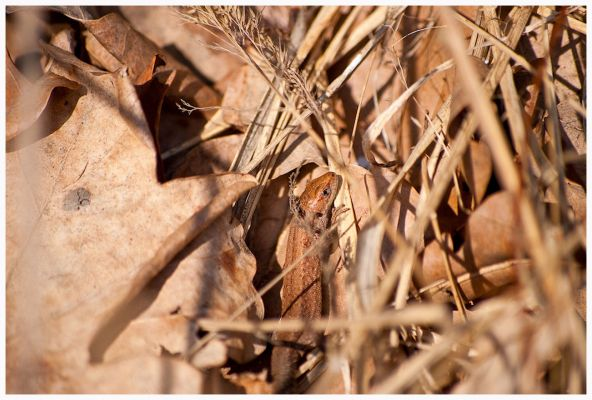 Jaszczurka Zwinka - Las Lipka