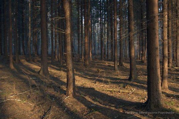 Las Dioblina w Kozłowej Górze