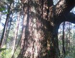 Oak Mnich