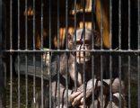 Chimpanzee in zoo AB