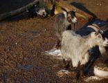 Capra, kozy w zoo w Zamościu
