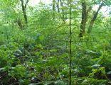 MOs810, WG 2014 48, powiat obornicki, rezerwat Dolega, Skrzyp olbrzymi, Equisetum telmateia (2)