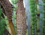 Equisetum telmateia 6