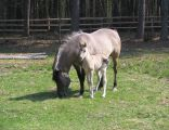 Konik Polski - Klacz ze źrebięciem – Roztoczański Park Narodowy