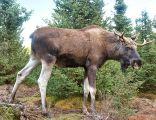 Łoś - król Biebrzańskiego Parku Narodowego