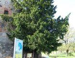 Nastarszy (ponad 1200 lat) cis (Taxus baccata) w Polsce, w Henrykowie Lubańskim