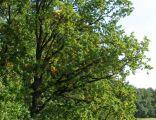 Przykład drzewostanu dębowego na skraju rezerwatu Przylesie
