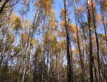 Las Lipka w Kozłowej Górze