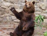 Niedźwiedź Brunatny w ZOO w WPKiW w Chorzowie